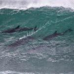 【動物】サーファーもびっくり!サーフィンの大会中に現れたサーフィンイルカの群