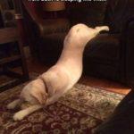 もう眠いよ、パトラッシュ…眠そうな犬のgif 10選