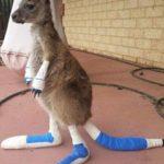 西オーストラリアの大火災から子供のカンガルーが救助される ヤーロープ