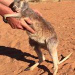 カンガルーの子供が手に抱き着いて離れなくなってしまった。オーストラリア アリススプリングス