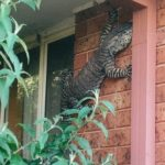 これがオーストラリアのヤモリなの?家の壁に張り付いていた巨大なトカゲが撮影される オーストラリア