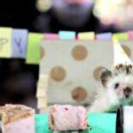 【動物】小さなハリネズミ達の小さなお誕生日会
