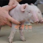 【中国】頭が二つあり、三つ眼の不思議な豚が産まれる。