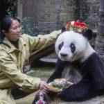 人間に換算すると140歳のパンダの35回目の誕生会が開催される。中国 福州