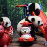 【中国】広州の三つ子のパンダがすくすく育つ