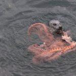 【動物】海中の異種格闘技戦が!アザラシ VS 巨大タコの戦いが撮影される