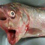 【動物】口が二つある魚がとれる in オーストラリア