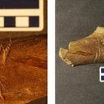 ティラノサウルスは共食いをしていた可能性が発見される。アメリカ ワイオミング州