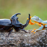 【動物】カブトムシを乗りこなすロデオなカエル