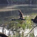 【中国の反応】アライグマがワニの背中に乗って川を渡る写真をみた中国の反応