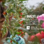 【中国の生活】クコの実の収穫時期の人々の様子