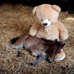 【動物】ずっと一緒だよ!孤児の子馬の友達はテディーベア。