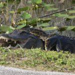 アリゲーターとニシキヘビの死闘が撮影される フロリダ エバーグレーズ