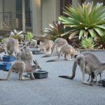 【動物】家に来るカンガルーに餌をあげていたらカンガルーと仲良くなれた。