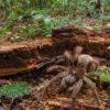 【動物】出会ったら泣く自信はある!ネズミの頭蓋骨すら噛み砕く世界最大の蜘蛛:ルブロンオオツチグモ