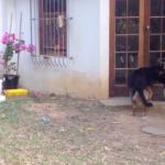 【きょうのわんこ】突然のライオンの子供の襲撃に驚く犬