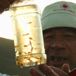 """【中国】新疆アルタイ山の生きている化石、""""仙女蝦"""""""