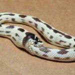 【動物】リアルな蛇のウロボロスの写真が撮影される。