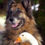 【動物】巷で有名だった狂犬シェパードが一羽のガチョウと出会って心を開く