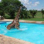 【大迷惑】珍客!キリンが家に遊びに来てプールに入って帰る