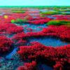 【中国】遼寧省盤錦の秋の風物詩。真っ赤に染まる紅海灘