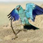 鴆:毒酒として悪名高く数々の人物を闇に葬ってきた毒鳥