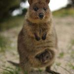 オーストラリアで一番可愛い動物、それはクアッカワラビー!