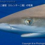 サメには電気を感じ取る器官がある