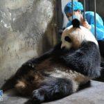 中国の成都で龍鳳胎のパンダの赤ちゃんが生まれる
