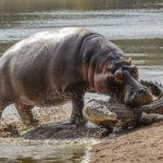 カバは本気で怖い…カバの母親がワニに容赦なく襲い掛かる様子が撮影される。 南アフリカ クリューガー国立公園