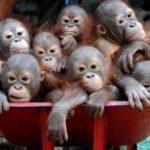 【動物】じわじわくる。孤児になったオランウータンの子供たちが一輪車に乗せられ運ばれる