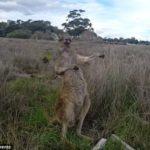 【オーストラリア】エアギターでのりのりのカンガルーが撮影される。