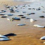 【不思議】浜辺に打ち上げられた魚が全て忽然と消えてしまう現象が発生