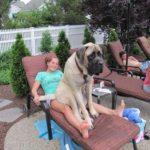 【きょうのわんこ】でか過ぎるのに自分のでかさに気づいていない大きな犬達