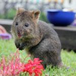 【動物】生後6ヵ月のクアッカワラビーの子供が可愛すぎて萌え死ぬ人続出。オーストラリア シドニー タロンガ動物園